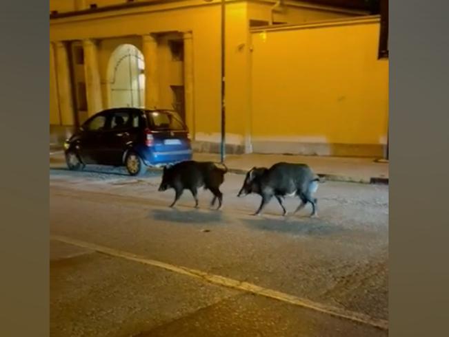 Due cinghiali a Torino: avvistati a passeggio vicino alla Gran Madre