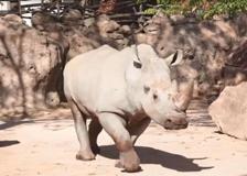 Il rinoceronte bianco «Rami» prende casa a Torino